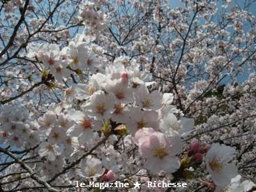 三井寺さくら2009春