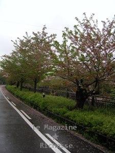 山崎川さくらle14avril2009-01