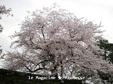 彦根桜2009春001
