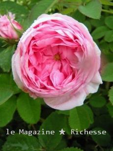 花フェスタ rosa centifolia_20090527  005