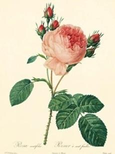 rosa centifolia_Book_Les Roses