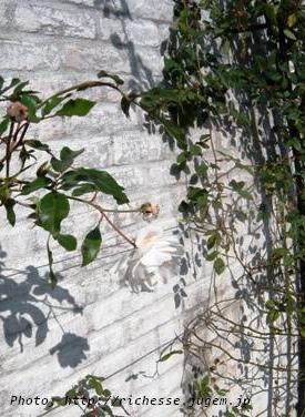 リストランテ プリマヴェーラ 庭の白薔薇