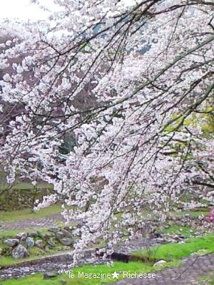 2010養老公園の桜