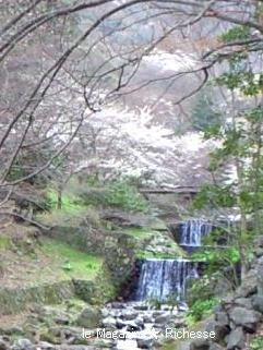 2010養老公園の桜 10