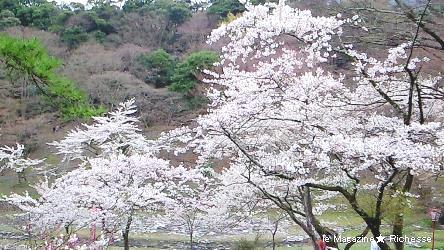 2010養老公園の桜(ソメイヨシノ)