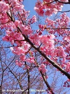 彦根城西の丸の桜(陽光桜)