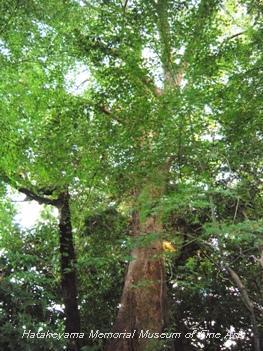 畠山記念館庭園_ムクノキ(樹齢200年)
