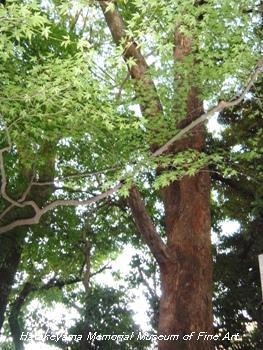畠山記念館庭園_ムクノキ(樹齢180年)