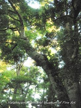 畠山記念館庭園_モチノキ(樹齢250年)