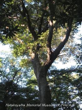 畠山記念館庭園_クヌギ(樹齢200年)