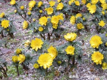 Adonis amurensis Regel Radde/キンポウゲ科福寿草(フクジュソウ)