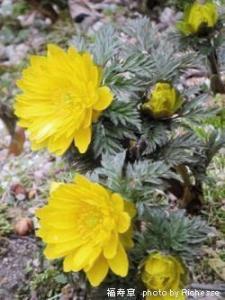 Adonis amurensis Regel Radde/キンポウゲ科福寿草(フクジュソウ)02