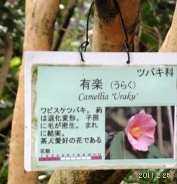 plate_Camellia Uraku/有楽