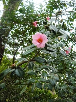 Camellia uraku (Makino) Kitamura./ツバキ科有楽(椿)