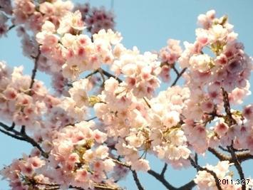 2011名古屋東区 大寒桜/Cerasus × kanzakura 'Oh-kanzakura'
