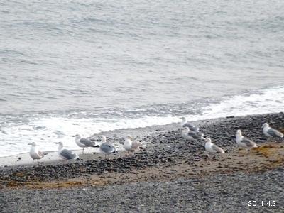 三重県志摩市阿児町甲賀 水際の海猫(ウミネコ)
