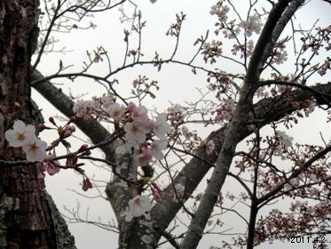 賢島_志摩観光ホテルガーデンの桜02