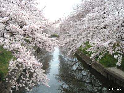 le7avril2011_岩倉市_五条川の桜まつり