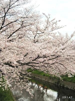岩倉市_五条川の桜まつり01