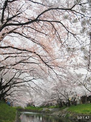岩倉市_五条川の桜まつり02