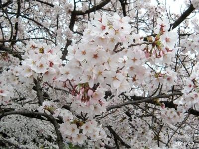 岩倉市_五条川の桜まつり04