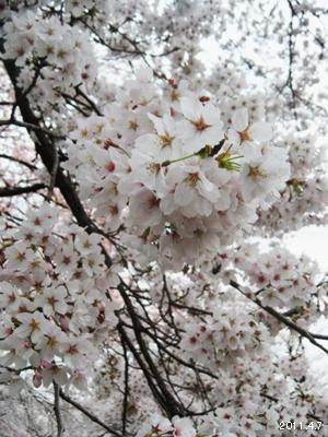 岩倉市_五条川の桜まつり05