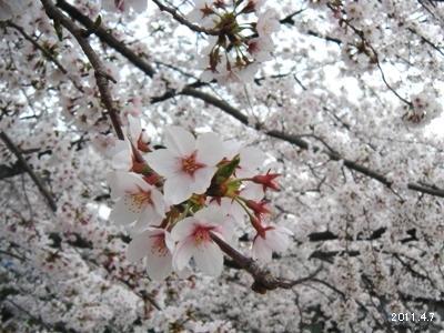 岩倉市_五条川の桜まつり06