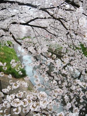 岩倉市_五条川の桜まつり 10