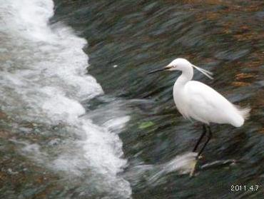 五条川の白鷺