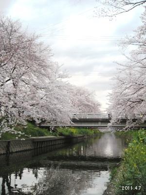 le7avril2011_岩倉市_五条川の桜まつり_00