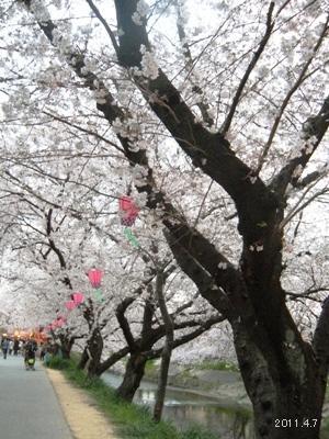 岩倉市_五条川の桜まつり08