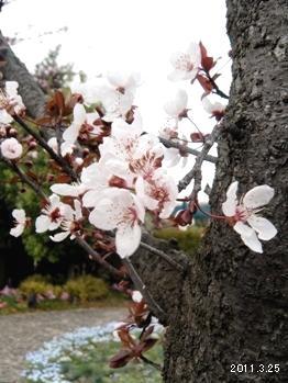 名古屋港ワイルドフラワーガーデンBluebonnet/ブルーボネット_Prunus cerasifera  var.atropurpurea(紅葉李)