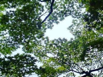 le30mai2011_京都下鴨 「茶寮 宝泉」の青もみじ