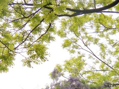 Robinia pseudoacacia Frisia