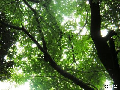 根津美術館庭園の山桜(Purunus jamasakura)