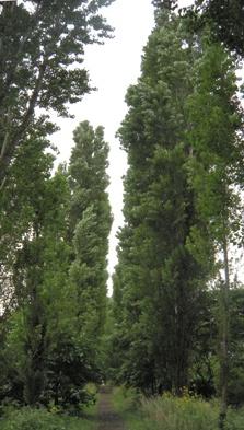 北海道大学札幌キャンパス_ポプラ並木