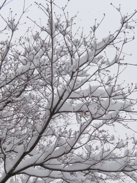 le2février2012_庭木の雪