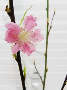 桃の節句〜Atelier_桃の花〜02