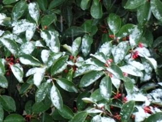 le12mars2012_ 庭木の雪 01
