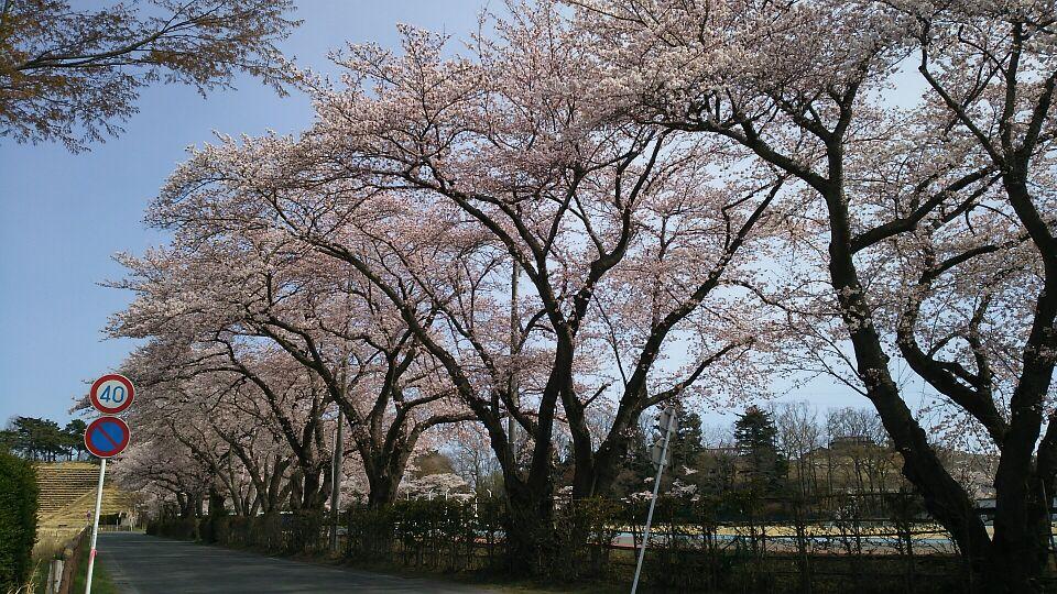 南相馬の桜01