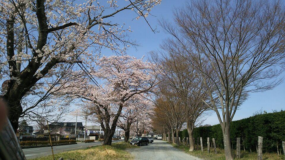 南相馬の桜02