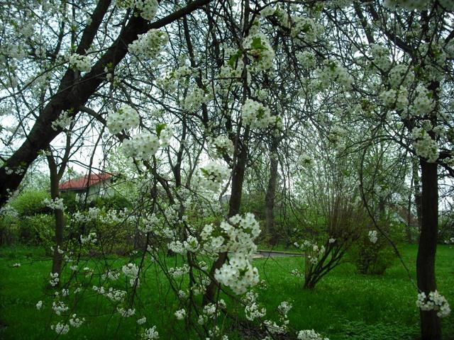 ポーランド 桜