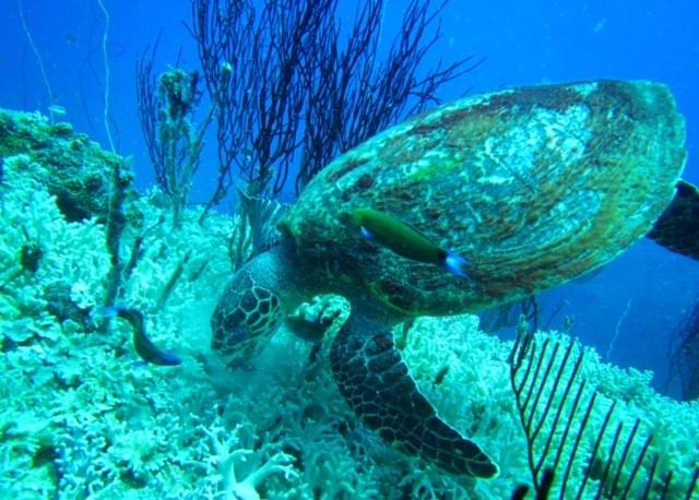 サムイ島ダイビング亀
