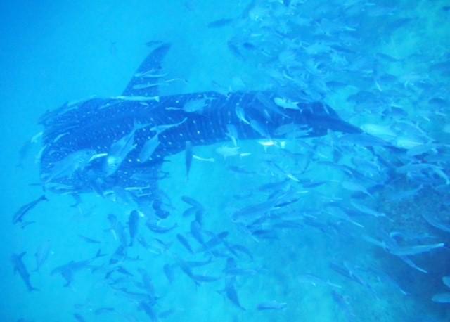 サムイ島ダイビングセイルロックディスカバリーダイバーズ