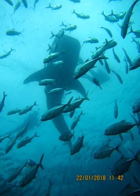 ジンベイザメサムイ島ダイビングセイルロック