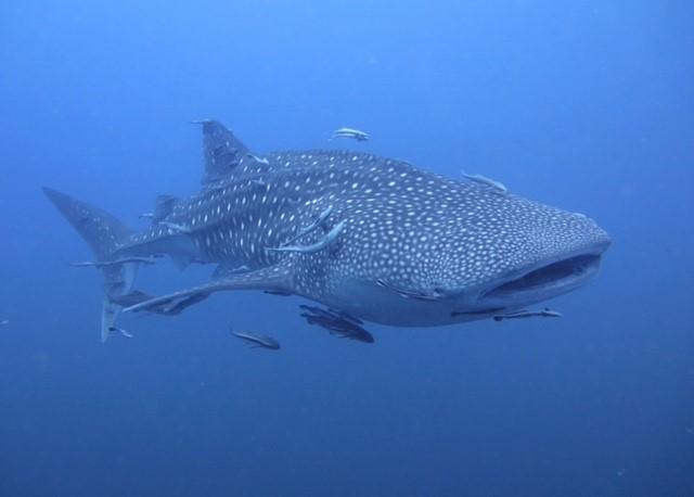 サムイ島ダイビングジンベエザメ