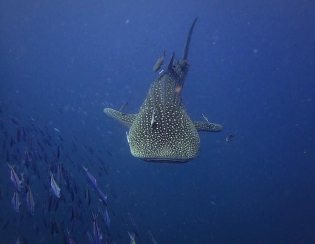 サムイ島ダイビングジンベイザメ