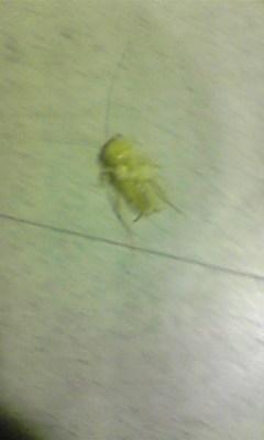 白いゴキブリ