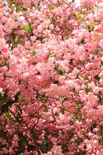 満開の花海棠