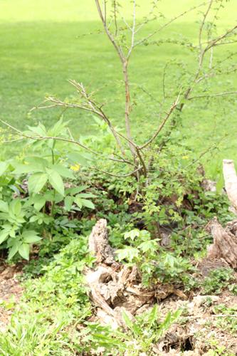 倒木から新たな枝が